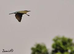 Blue-tailed Bee-eater (Merops philippinus) (Z.Faisal) Tags: blue bird birds nikon beak feathers aves nikkor bangladesh avian bipedal bangla faisal beeeater desh d300 zamir merops bluetailed bluetailedbeeeater pakhi endothermic philippinus pabna nikkor18200mmvrii ishwardi zamiruddin zamiruddinfaisal zfaisal