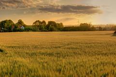 Field Of Gold (Rutger Blom) Tags: lund public field sunshine landscape evening skåne day cloudy sweden experiment sverige agriculture avond flt veld hdr scania landschap zweden landskap skane landbouw fav10 kväll zonneschijn solsken fält kvll jordbruk mywinners skne
