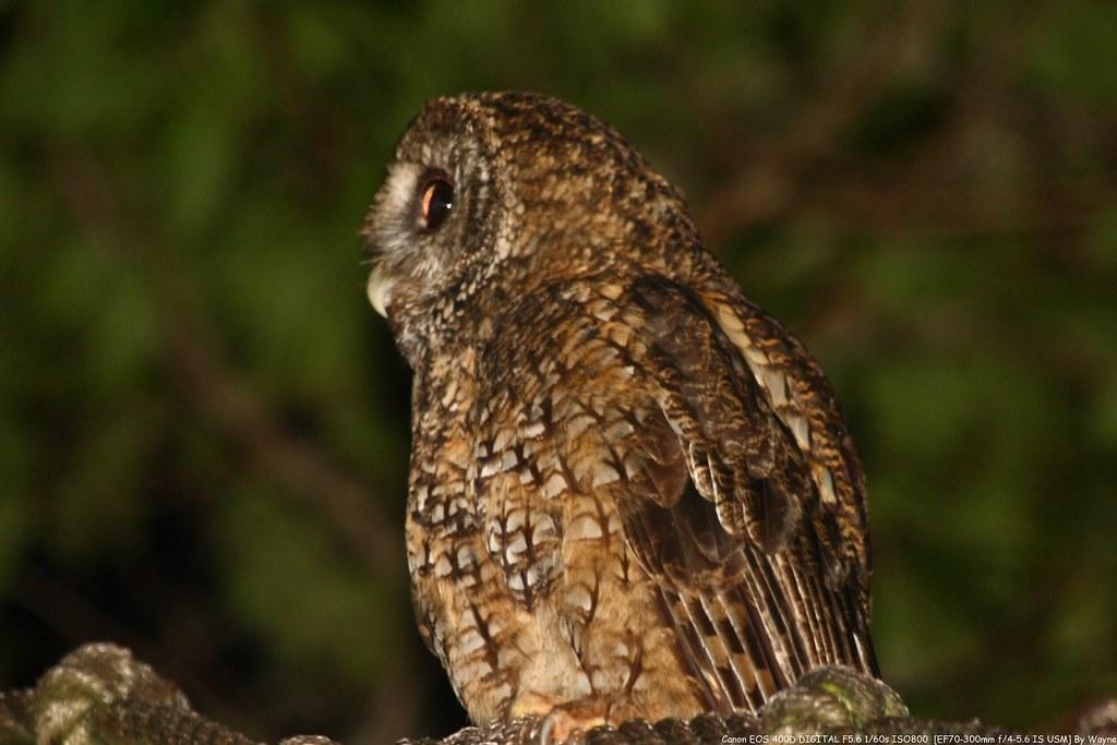 Tawny Wood Owl 灰林鴞 - IMG_8862