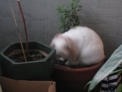 IMG_2110 (joandirk) Tags: cadbury rabbits lop minilop