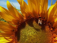 sunflower (Martina.Melchionno) Tags: flowers nature nikon natura sunflowers fiori