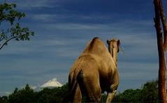 El dromedario y el volcn (Plumerio Pipichas) Tags: mxico volcano camel puebla popocatpetl dromedario africam challengeyouwinner ltytr1 plumeriopipichas flickrpuebla
