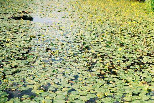 Watter Lillies
