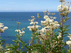 Meadowsweet (Richard and Gill) Tags: sea coast cornwall wildflowers stives cornish kernow meadowsweet penwith