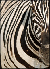 Stripes (It's Stefan) Tags: africa animal linhas mammal stripes wildlife  zebra calf namibia gomtrie etosha lignes  geometria lneas linien        karmanominated       stefanhoechst stefanhchst stefanhoechst