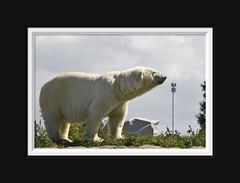 Polar Euromast (Arie van Tilborg) Tags: blijdorp polarbear ijsbeer euromast dierentuin diergaarde spacetower rotterdamzoo tilborg arievantilborg