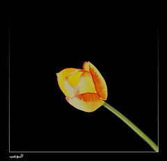 Tulip Flower - (  ( (Abdullah Alashiri) Tags: fab flower love inspired tulip  freephotos diamondclassphotographer flickrdiamond
