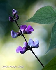 D Vine (John_Phillips) Tags: bravo gbr lifeasiseeit supershot johnphillips hyacinthbeanvine mywinners aplusphoto flowerwatcher oraclex mandalalight