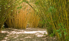 Louisiana Jeff 1301 (tomcollinsarc) Tags: louisiana bamboo
