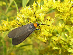 Virginia Ctenucha (magarell) Tags: insect moth nj goldenrod somersetcounty baskingridge lordstirlingpark ctenuchavirginica virginiactenucha