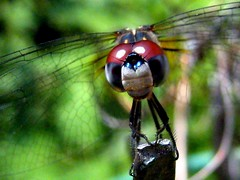 Hypnotic (sylkyred1) Tags: blue red green nature outdoors bigeyes dragonfly bokeh hypnotic damsel gossamerwings gettingsleepy damseldragonfly