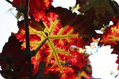 |...wine leaf (schujens : )) Tags: leaf blatt leafes lv weinblatt wineleaf photographyrocks colorphotoaward ysplix colourartaward vinlv
