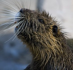 Whiskers (Catalin Pruteanu) Tags: animal nose zoo october beaver whiskers romania castor canon70300 canon400d
