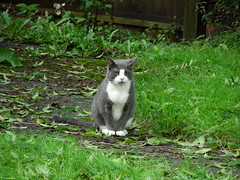 Grey and White Cat (knightbefore_99) Tags: white vancouver yard cat grey eyes chat gato blanc eastvan freephotos cc3600 cc7100