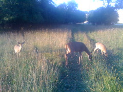 deer2008taglieri3
