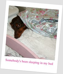somebody's been sleeping in my bed (andrea creates) Tags: mini coco dachshunds doxie chocolateandtan