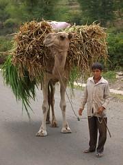 Yemeni rural child leading a Camel in Taiz (Khalid Alkainaey  ) Tags: people tourism photography inflight photographer image photos muslim islam picture middleeast arabic arab yemen sanaa khalid taiz   yemeni yaman   ymen  yemenia  jemen  arabiafelix    arabianpeninsula  iemen      yemenphotos   republicofyemen   yemenairways   yemenpicture    lifeandpeople  khalidalkainaey  yemeniamagazine  alkainaey  yemenimages  inyemen