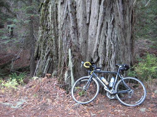 In the Redwoods on Kings Ridge