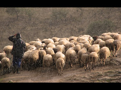 Sheepherding in the rain, Farkhadona (_neona_) Tags: man tourism nature rain animal greek sheep farm farming greece eco sheepherder sheepherding herder blueribbonwinner trikala thessaly platinumphoto ysplix theunforgettablepictures theperfectphotographer goldstaraward flickrlovers farkhadona