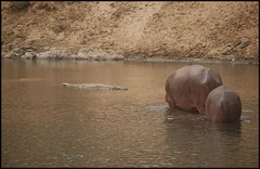 Crocodiles and hippos living in harmony (~Ranveig Marie~) Tags: africa travel wild baby brown water animal animals river mammal hiking walk african wildlife hill natur hike safari tur crocodile afrika hippo hippopotamus traveling mammalia nord hippos cameroon naturewalk cameroun kamerun hippopotamusamphibius flodhest fottur krokodille hippopotamidae pattedyr villdyr flodhester