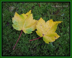 Maple on Moss (Todd Boland) Tags: flowers fall acer