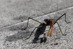 I know (dr.snitch) Tags: shadow animal bug mantis insect shadows praying creature prayingmantis portatrait