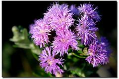 Serei feliz de flor...de flor em flor... (Fabiana Velso) Tags: flores minasgerais cores flor rosa cerrado roxo diamantina florzinha lil flordocerrado challengeyouwinner duetos frenteafrente cerradomineiro natureselegantshots fabianavelso