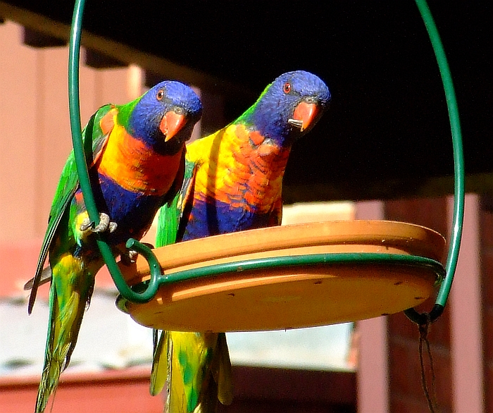 glaring rainbow lorikeets
