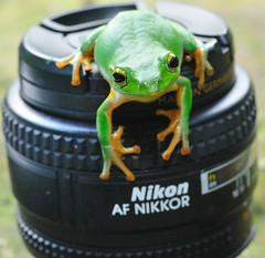 My Nikon 11-2 (Matthew Fang) Tags: macro cute green nature animal lens fun nikon image picture frog photograph d300     matthewfang