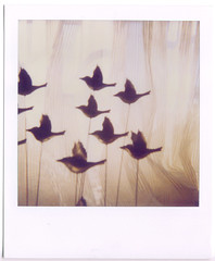 fly away (emmily shaw) Tags: light film window polaroid sx70 no filter 600 70 brids sx panpola