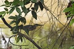 Animais de estimação (Luiz C. Salama) Tags: brazil animal brasil fauna canon liberdade bichos animais manaus luiz amazonas salama amazonia ocioso drocio luizsalama salamaluiz metareplyrecover2allsearchprigoogleover