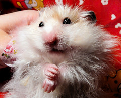 My cute Muppet Pirko (pyza*) Tags: pet cute animal hamster syrian hammie pirko chomik