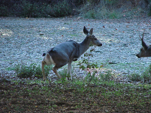 doe keeping buck interested