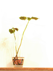 ((SD)) Tags: life flowers two plant green water leaves leaf live growth sd lives growing ایران sina danesh سبز حیاط زندگی سینا مازندران overflowed s3is برگ شاهی دانش حسنیوسف خوشبختی sinadanesh طبرستان سینادانش قائمشهر