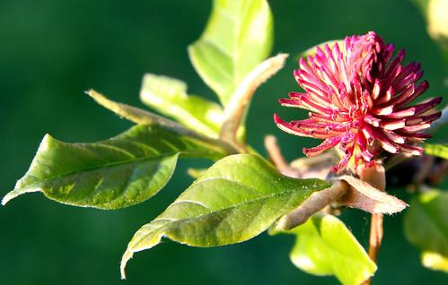Flor Magnolia soulangiana