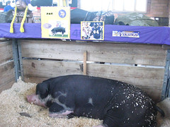 Pat the pig, MN State Fair