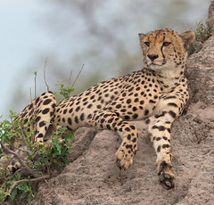 Relaxing (Wild Dogger) Tags: africa travel nature animals canon tiere wildlife urlaub natur lagoon adventure safari afrika cheetah botswana ereignisse predator mammals 2009 carnivore endangeredspecies gepard naturesfinest acinonyxjubatus felidae sugetier abenteuer redlist raubtiere termitenhgel termitemount kwando specanimal abigfave roteliste theunforgettablepictures canoneos7d thomasretterath gefhrdetetierart canonef300lis28usm