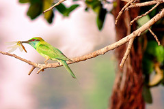 The bee eater (TARIQ HAMEED SULEMANI) Tags: summer nature birds wheat harvest tariq beeeater khanewal concordians sulemani jahanian