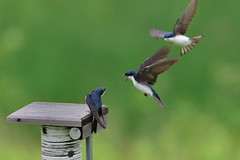 Tree Swallows DSC_5852 by Mully410 * Images