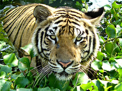 Sumatran Tiger ; bathing (tropicaLiving - Jessy Eykendorp) Tags: park wild bali nature animal closeup fauna sumatra indonesia geotagged photography zoo asia wildlife tiger panoramic beast wildanimal endangered sumatrantiger bathing fpc gianyar mywinners abigfave platinumphoto irresistiblebeauty diamondclassphotographer flickrdiamond onlythebestare tropicaliving sumatrantigerbathing balisafarypark tropicalivingtropicallivingtropicalliving panasoniclumixdmcfz8panasoniclumixdmcfz8 jessyce geo:lon=115157318 geo:lat