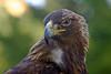 Raptor (Cal Bear 94) Tags: sanfrancisco bird zoo eagle hawk beak raptor avian birdofprey goldstaraward