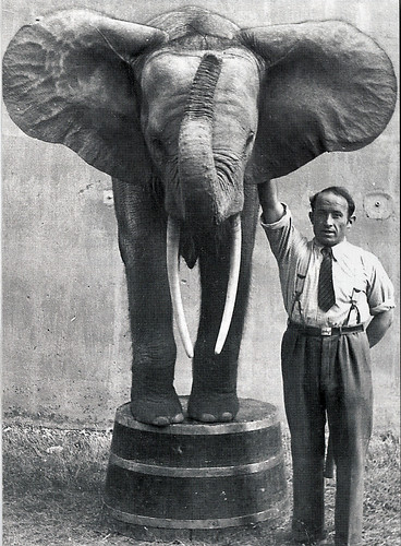Forest elephant and Zoo director Rudolf Weber in Duesseldorf Zoo 1937