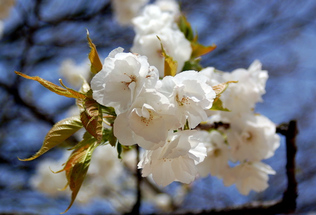 white_flowers_blue_sky1