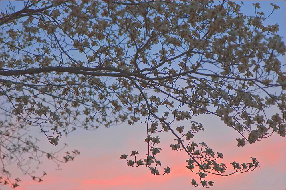 rosy dawn ©2008 RosebudPenfold