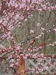 Mary's Backyard (Iknownowforsure) Tags: natur baum vogel blaumeise kirschbluete