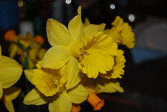 King Alfred (ladybugdiscovery) Tags: flowers macro yellow closeup spring daffodil bouquet jonquil thebestyellow