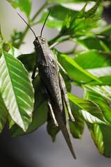 Cavalletta (il.vibrione) Tags: macro grasshopper cavalletta arenzano