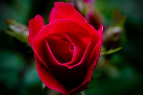 Rose season...
