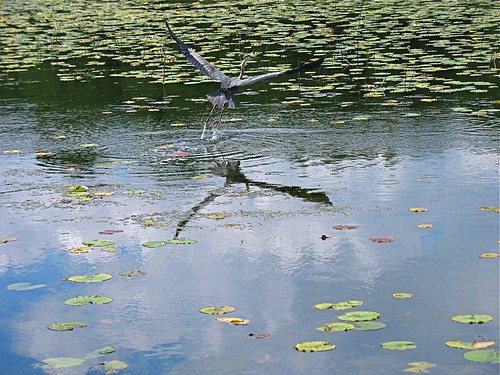 Heron on Lauderdale Lakes