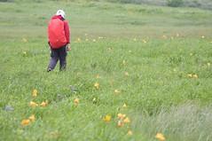 エゾカンゾウの花畑を行く